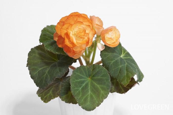 フォーチュンベゴニア 秋の花 半耐寒性球根