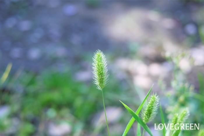 エノコログサの花言葉