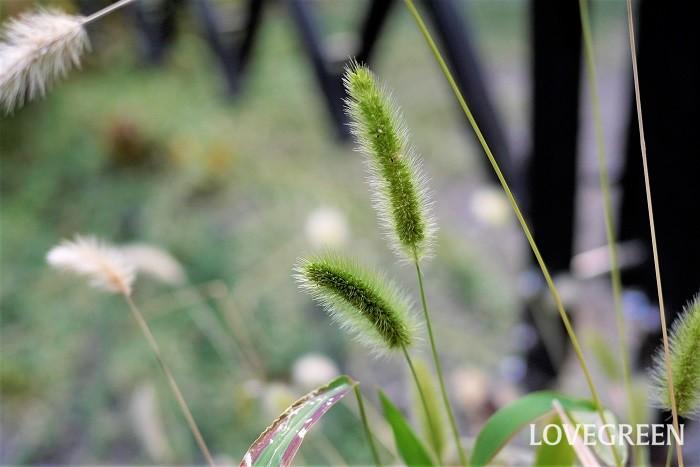 エノコログサと猫じゃらしは同じ植物