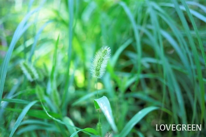 エノコログサは粟の仲間です