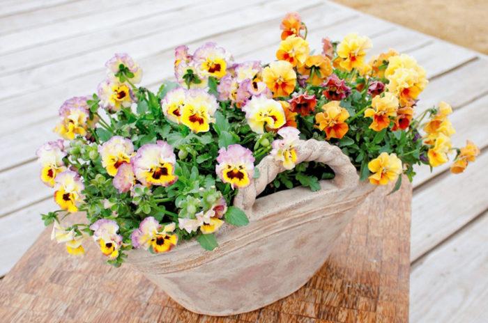 ビオラ ミルフル 秋の園芸