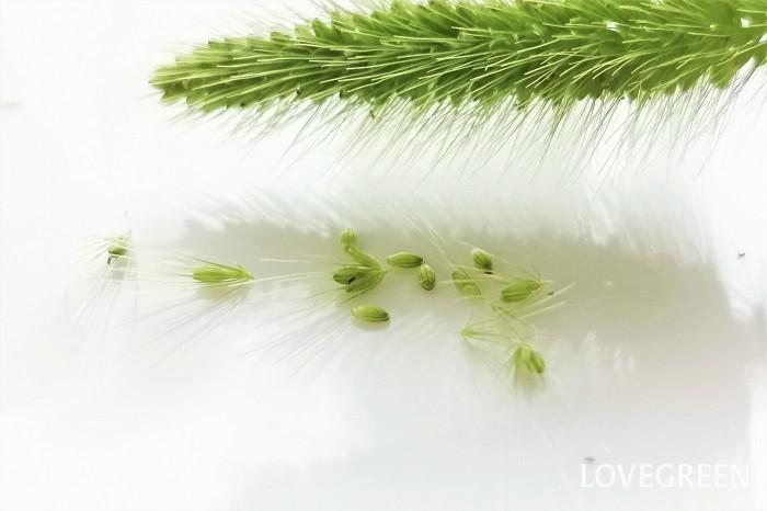 エノコログサの花