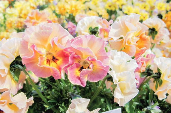 ビオラ 花色 ミルフル フリル咲き