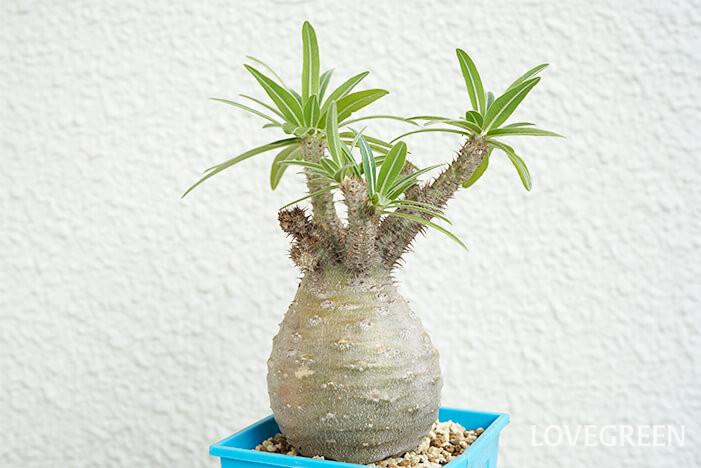 塊根植物パキポディウム・グラキリス