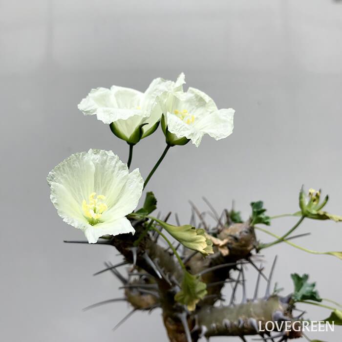 サルコカウロンの花